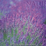Lavender pic library