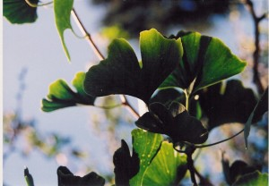 Ginkgo, courtesy of A. Vogel
