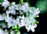 Valeriana, courtesy of A. Vogel (Bioforce)