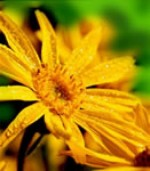 Arnica, courtesy of A. Vogel (Bioforce)