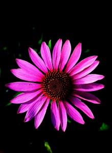 Echinacea, courtesy of A. Vogel (Bioforce)