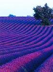 lavender_jpg