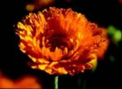 Calendula, courtesy of A. Vogel