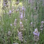 Lavender HS