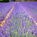 Lavender Susan