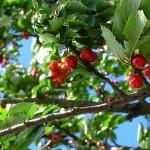 Cherries June